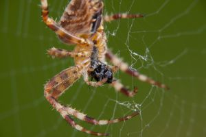 hungrige Spinne